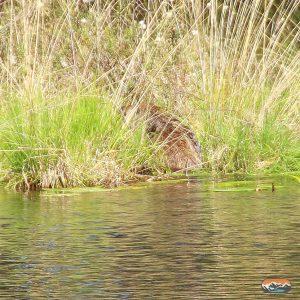 Ein Wildschwein klettert aus dem Mümmelkensee